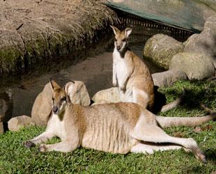 Canguros y Koalas