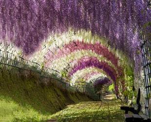 El Túnel de Wisteria