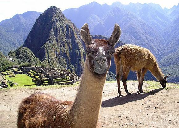 llamas-mapi
