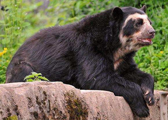 Urso andino é dispersa em cerca de 95% do Santuário de Machu Picchu