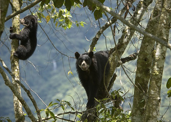 Andean bear is scattered in about 95% of the Sanctuary of Machupicchu