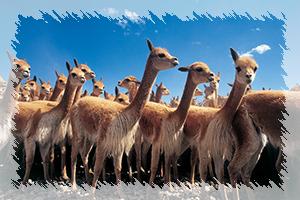 fauna-vicuñas