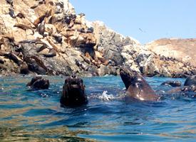 Conoce las islas Palomino, y disfruta de su biodiversidad con los lobos de mar
