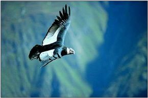 Condor en Cañon de Colca