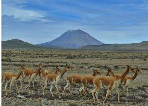 reserva de vicuñas en el cañon de colca