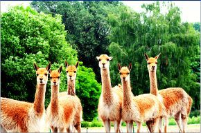 Vicuñas Reserve Arequipa