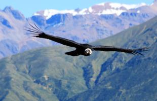 Condor en la Cruz del Condor en el Cañon del Qolca