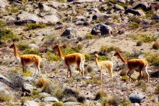 Vicuñas en las pampas de Arequipa