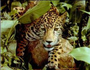 Jaguar in the jungle Iquitos