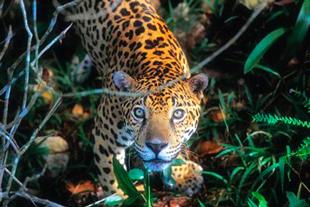 Jaguar de Puerto Maldonado
