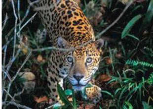 Jaguar Puerto Maldonado